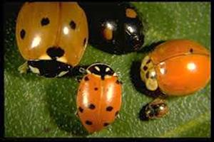 Lady beetles can have a variety of colors and spots. All of these insects are beneficial.