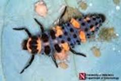 "This is the larvae of a lady bug and should not be ""controlled"" in your landscape and garden."